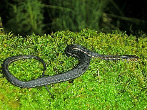 Melanistic San Francisco Garter Snake Thamnophis Sirtalis Tetrataenia Melanistic Melanistic Animals Snake