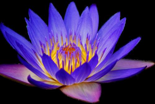transparent flowers Amazing flowers, Lily flower, Blue