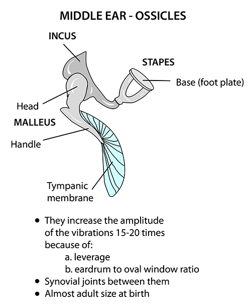 instant anatomy - head and neck - areas/organs - ear - ossicles