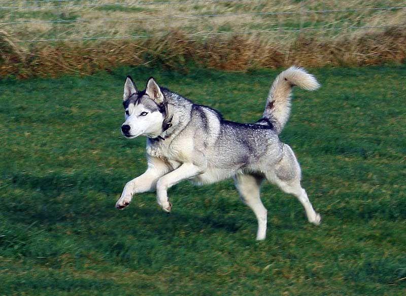 Facts About Siberian Huskies Siberian Husky White Siberian