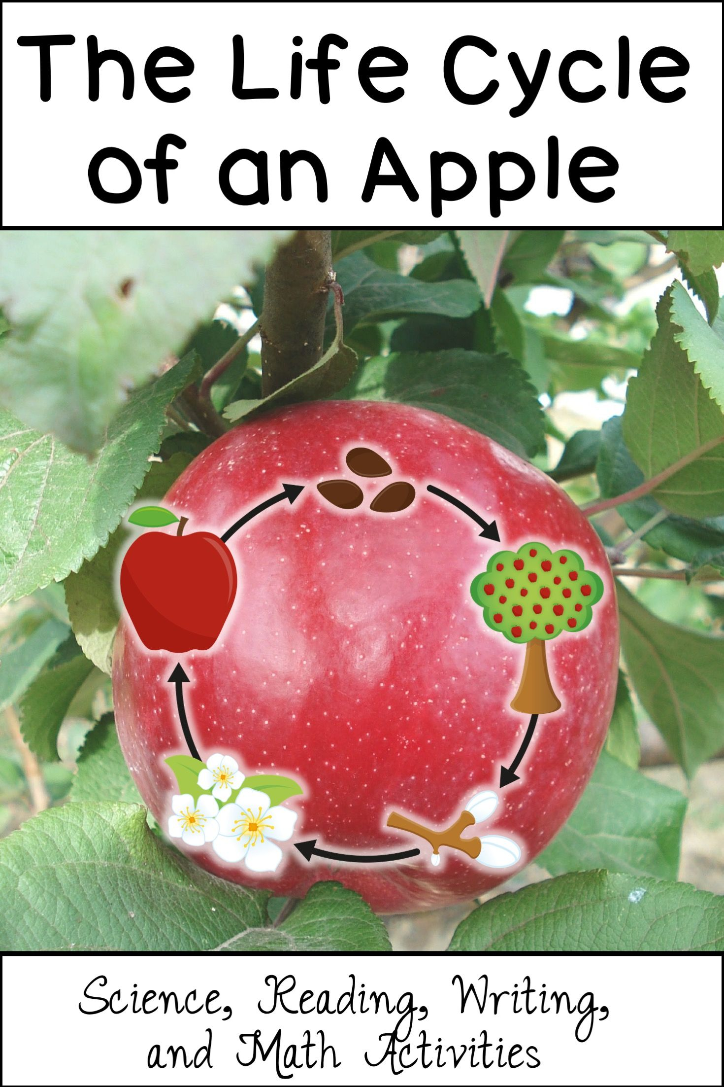 Apple Life Cycle CrossCurricular Literacy 4 12