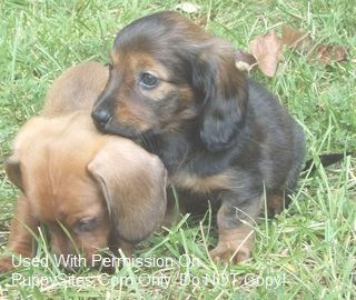 Dachshund Dog Puppy Website Listings At Puppysites Com Dachshund Dog Puppies Dogs And Puppies