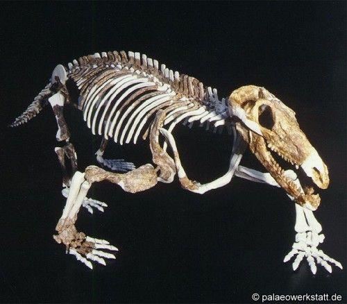 Procynosuchus delaharpeae