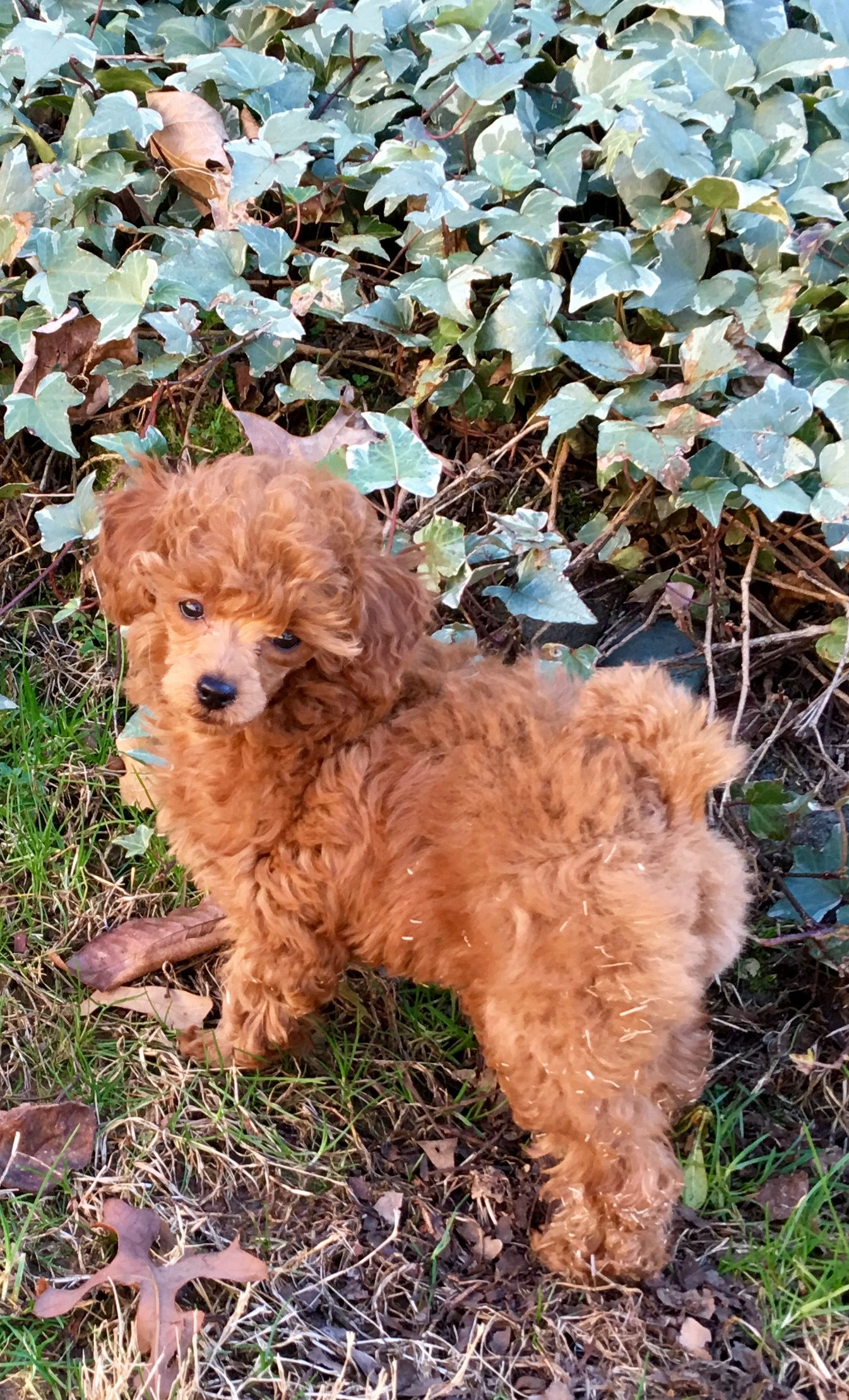 My Little Rosie Adeline Red Toy Poodle Toy Dog Breeds Poodle