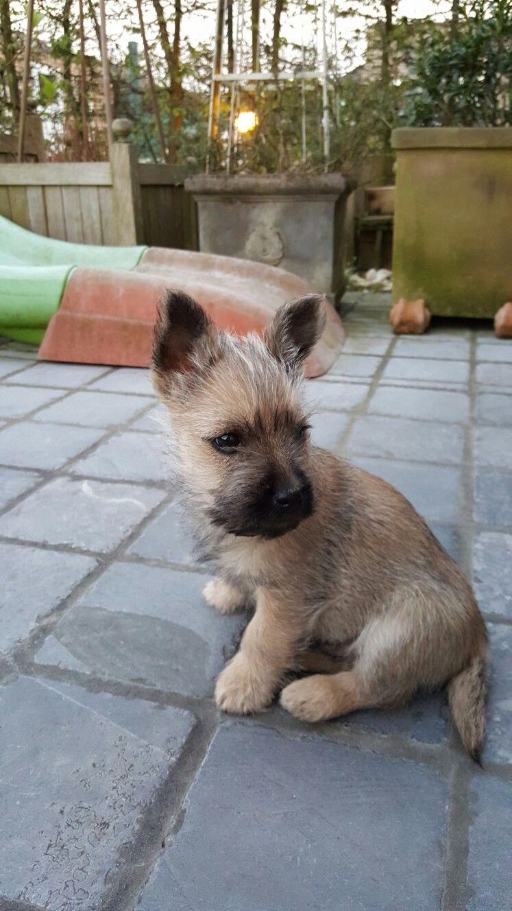 My New Love Jack Cairn Terrier Cairn Terrier Puppies Terrier