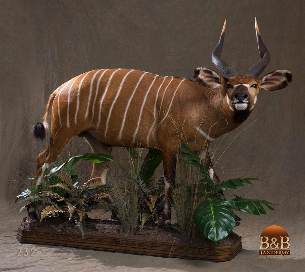 African Antelope Taxidermy By B B Taxidermy Houston Texas African Antelope Taxidermy African