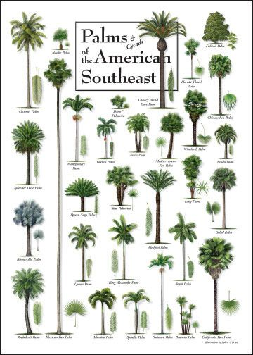 Palms Cycads Of The American Southeast Poster Trees And Plants Posters Palm Tree Identification Palm Trees Landscaping Palm Trees Garden