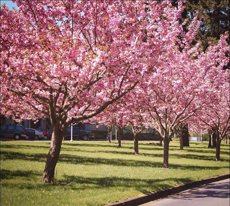 Kwanzan Cherry Tree Flowering Cherry Tree Cherry Trees Garden