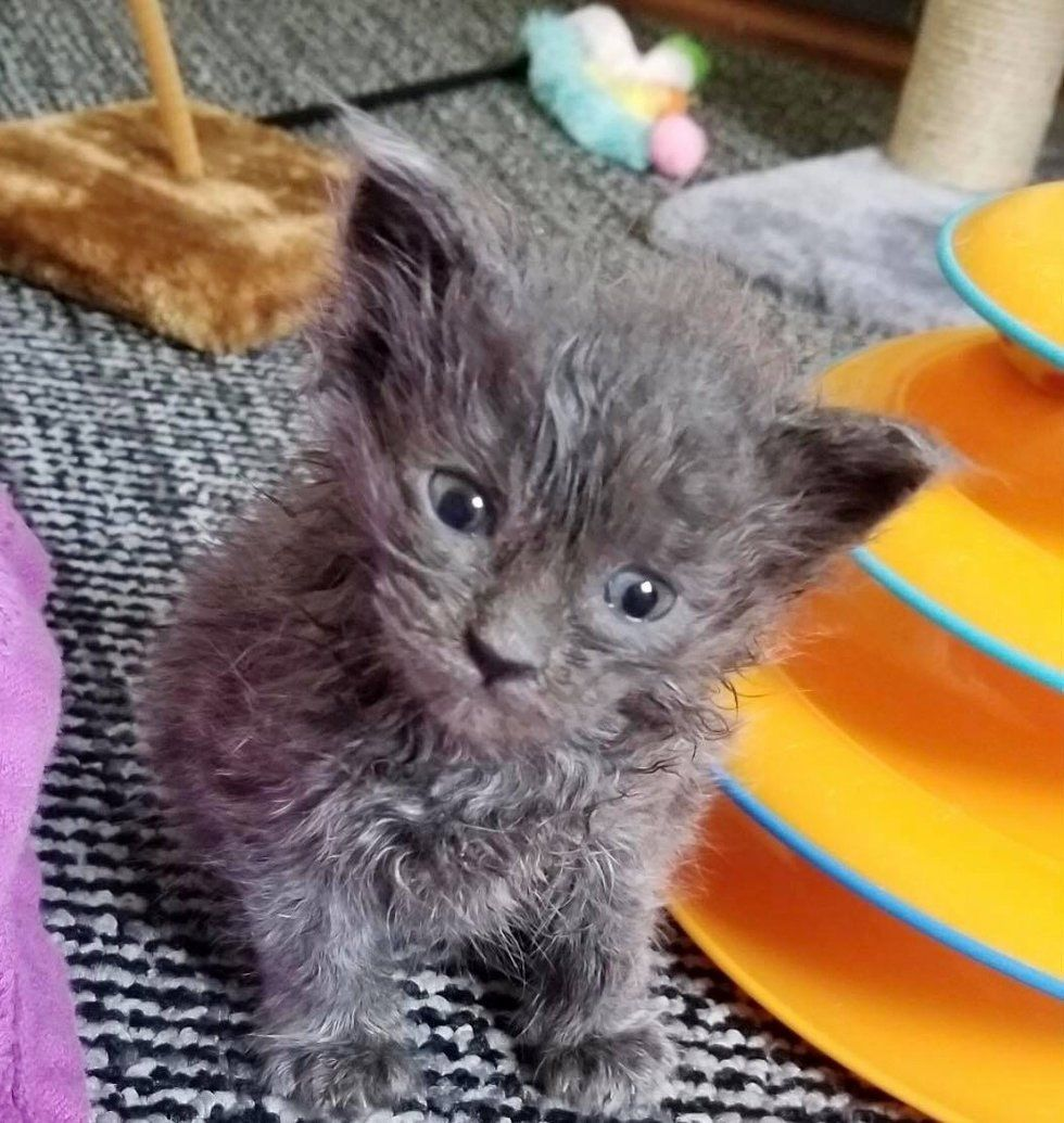 No One Expected This Little Gray Kitten To Survive A Woman Rescued Him From The Shelter And His Siblings Too The Odd Kitten Rescue Grey Kitten Cat Sanctuary