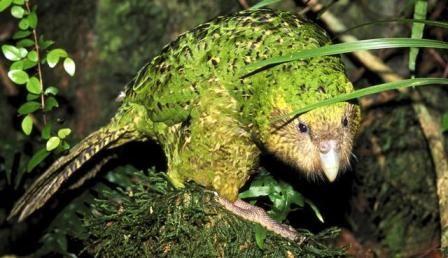 Hewan Langka Di Dunia Kakapo Animals Pinterest Kakapo Parrot