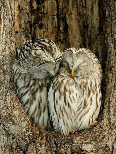 Cuddle, cuddle, cuddle Owl, Birds, Owl pictures
