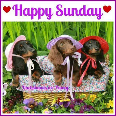 Happy Sunday Dachshund Love Dachshund Lovers Dachshund