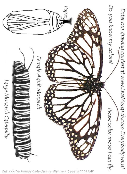 Http Www Livemonarch Com Images Colorin Jpg Monarch Butterfly