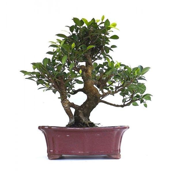 acheter en ligne ce superbe bonsai ficus retusa 50 cm sankaly bonsa votre sp cialiste de la. Black Bedroom Furniture Sets. Home Design Ideas