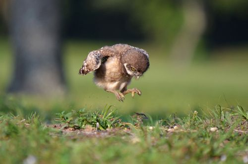 A baby Burrowing Owl practices some early flight calisthenics in the morning  |  Photo by Peter Brannon  http://www.flickr.com/photos/70788108@N08/7164104268