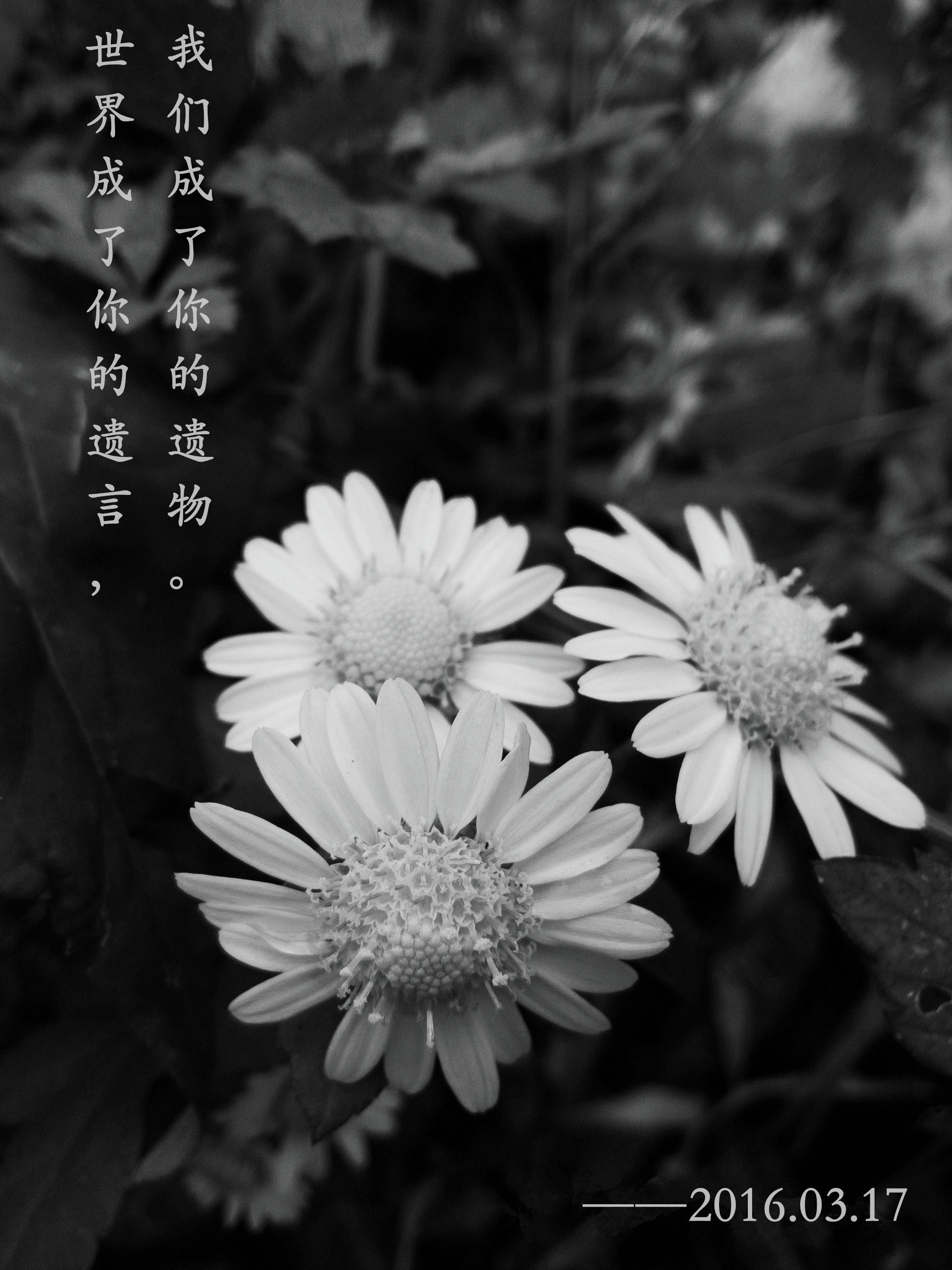 Chrysanthemum Chrysanthemum Flowers World