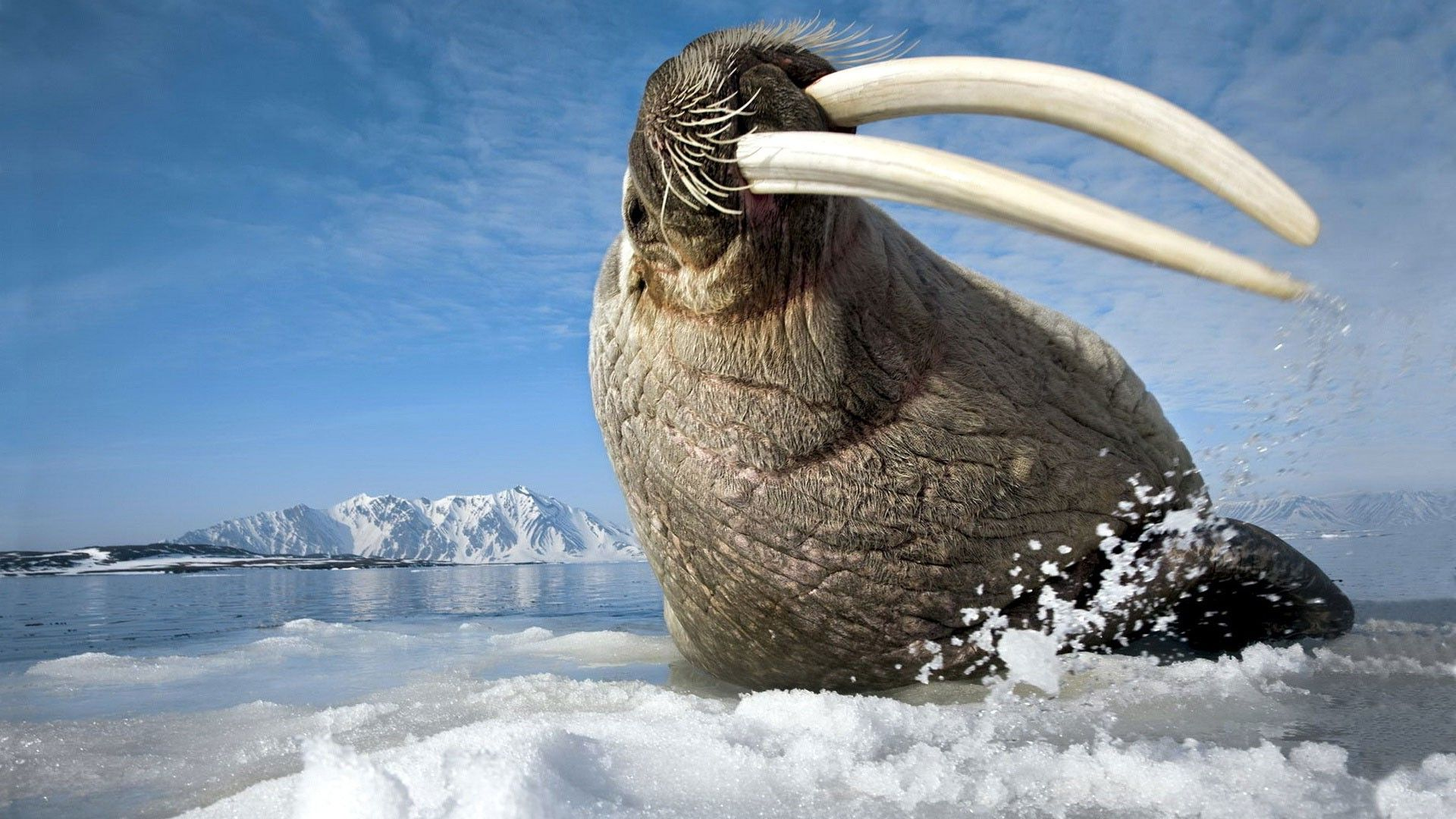 Walrus wallpaper hd animals that love the cold environments