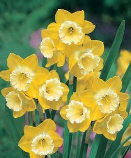 Intrigue Daffodil Bulb Flowers Spring Flowers Daffodil Flower