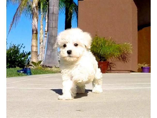Say Hello To Jess Our Beautiful Female Teddy Bear Designer Puppy For Sale In San Diego Watch Her With Images Maltipoo Puppy Maltipoo Puppies For Sale Puppies For Sale