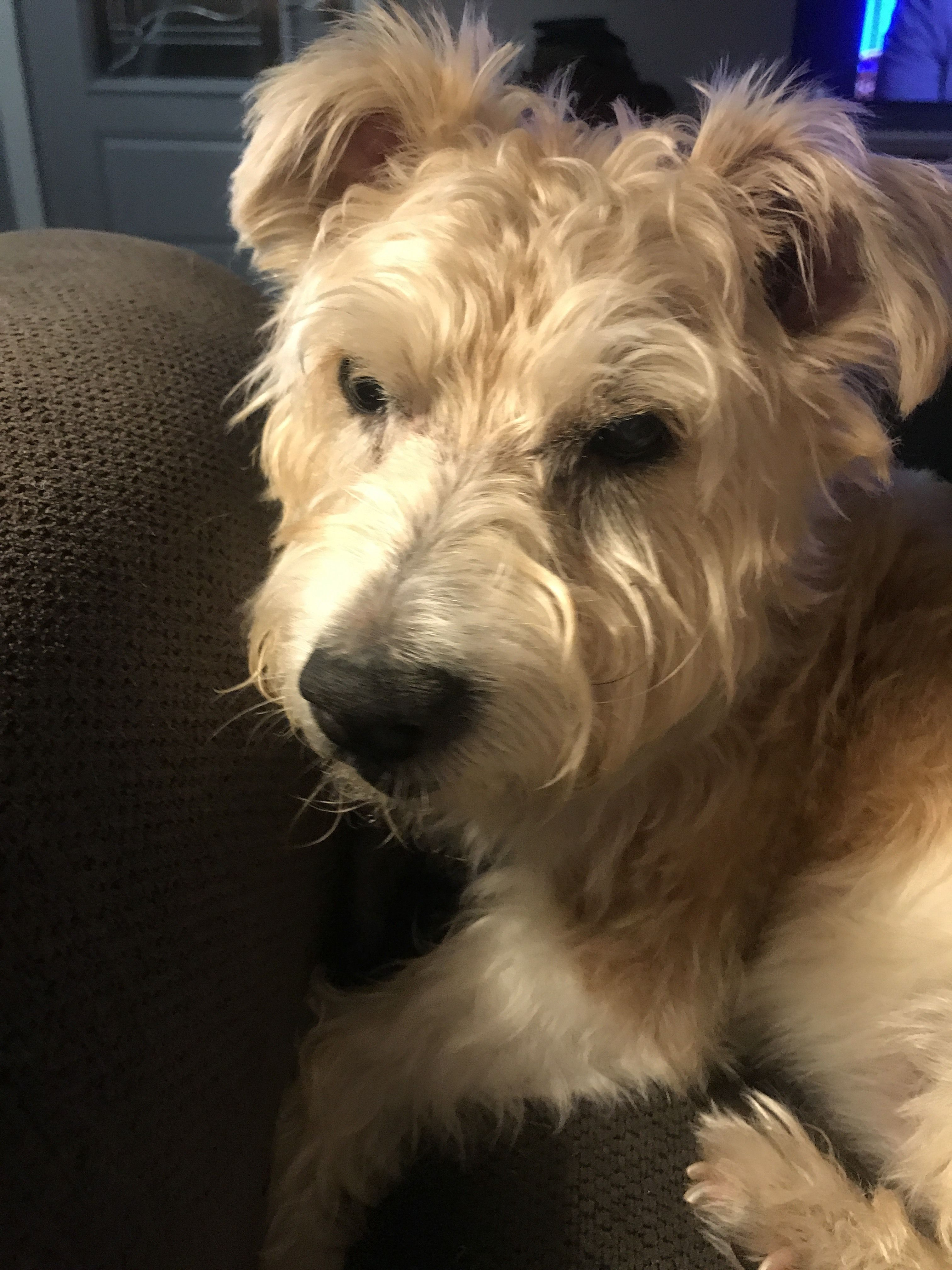 Adopt Scooter Adoption Pending! on Rescue dogs, Terrier