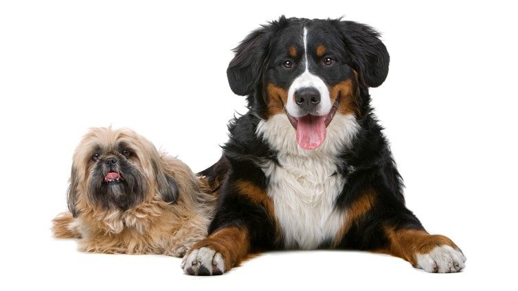 Big Or Small Dog Which Is The Right Fit For Me Barking Royalty Dog Breeds That Dont Shed Hypoallergenic Dogs Small Small Dog Breeds