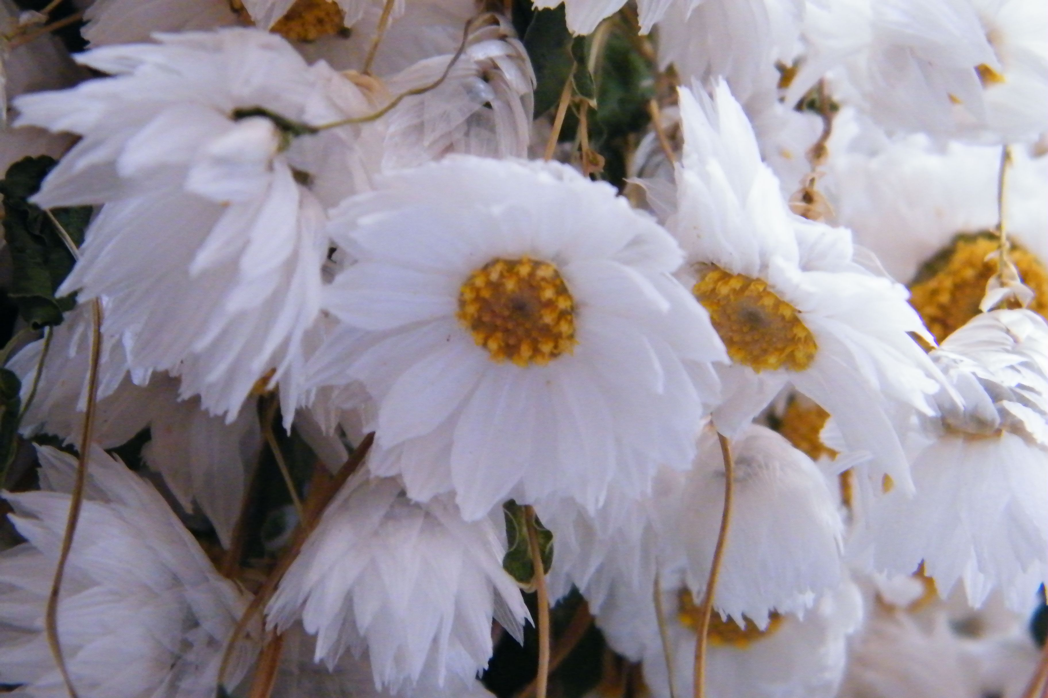 Dried White Rhodanthus Flowers Are Pretty Daisy Like Flowers Also
