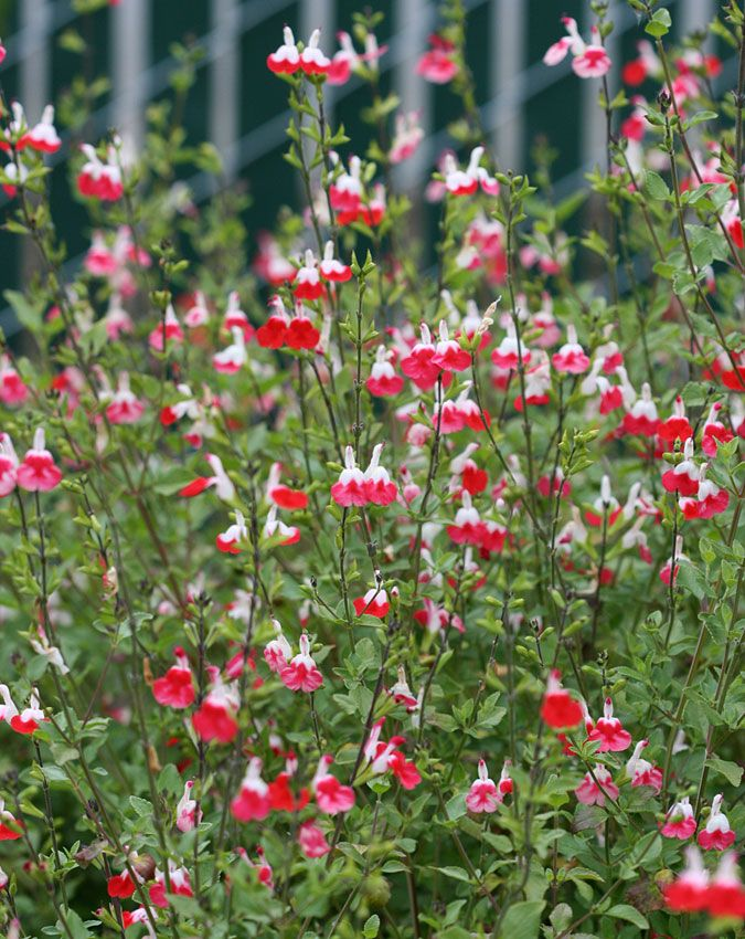 Salvia Hot Lips Salvia Plants Salvia Garden Hot Lips Plant