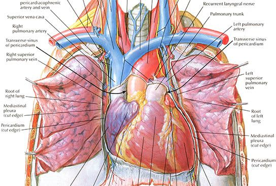 Netter On Anatomy Medical Drawings Medical Illustration Medical Anatomy
