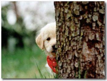 Golden Retriever Puppy They Like To Peek Golden Retriever