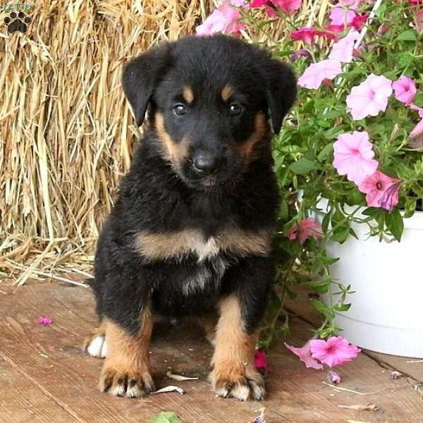Truman American Bulldog Puppy For Sale In Pennsylvania
