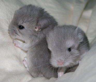 Baby Chinchillas Chinchilla Cute Cute Baby Animals Chinchilla Pet