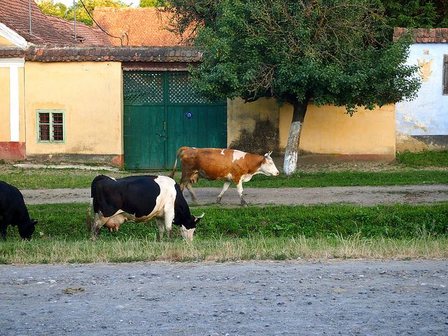 The cows coming home at night to be milked in Viscri Romania