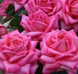 Wedding Bells   Garden Roses