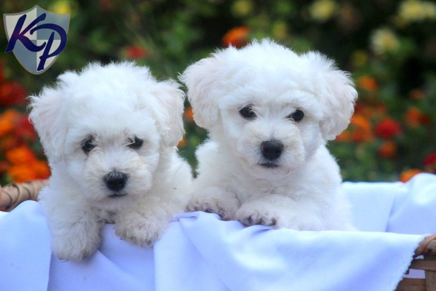 Puppy Finder Find Buy A Dog Today By Using Our Petfinder Bichon Frise Puppy Bichon Frise Bichon