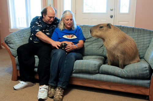 On l appelle gary le capybara il vit aux texas avec ses propri taires m lanie et richard il - Papa cochon a la piscine ...