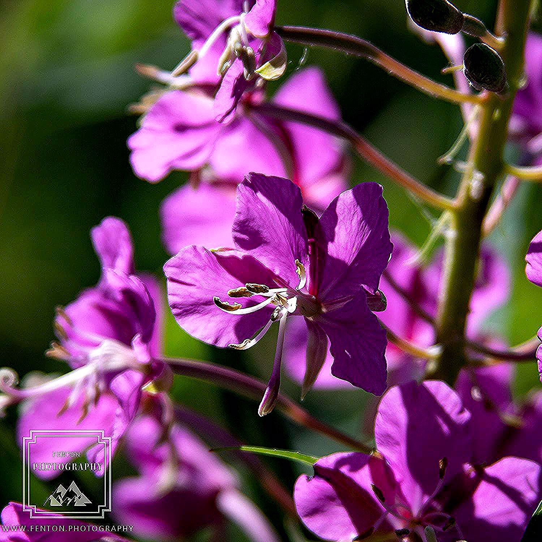 Summertime flowers at the Anchorage Botanical Gardens.  #flowers #flora #closeup #bokeh #summer #Alaska @VisitAnchorage