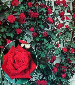 Crimson Glory Fragrant Climbing Rose Long Flowering Bare Rooted Plant Ebay Climbing Roses Rose Bush Plant Sale