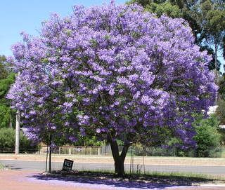 Jacaranda tree - THE most BEAUTIFUL tree in the whole entire world. Period.OR maybe the weeping willow tree is...