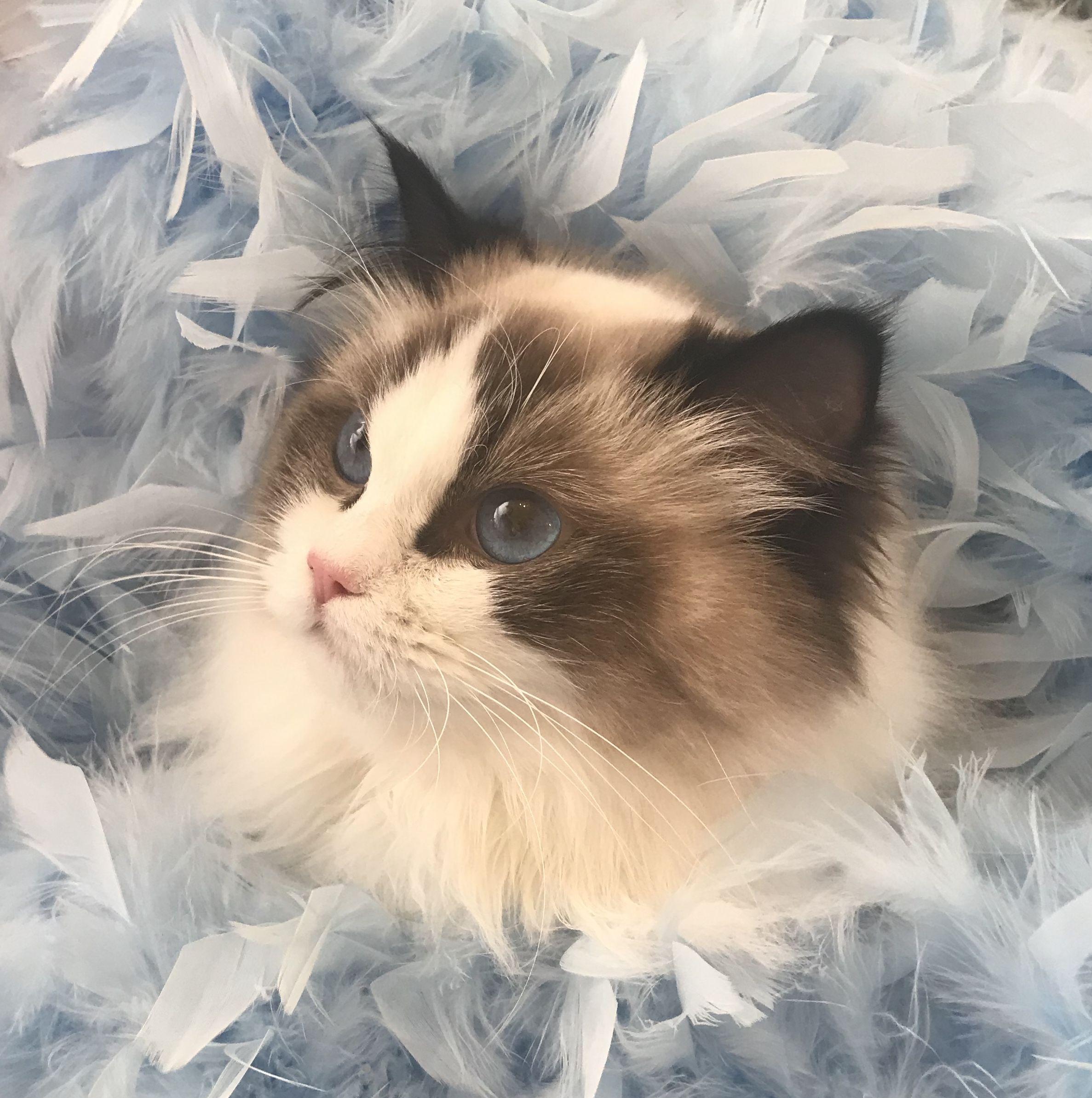 Ragdoll Cat In 2020 Ragdoll Cat Ragdoll Kitten Cats