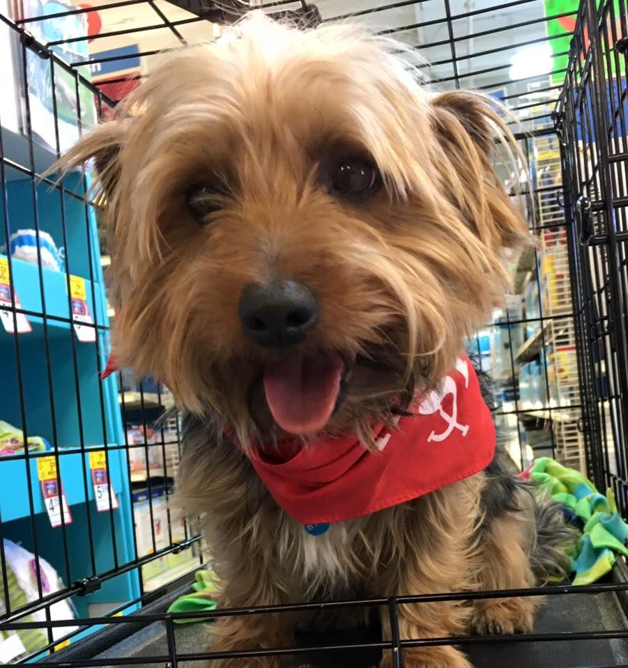 This little cutie is a show stopper. His name Is Monty and he is dreaming of a forever home. He is a purebred silky terrier. Came in as stray to the shelter. He is sweet and submissive, but will take charge if allowed. For that reason, we are looking for a family who would be...