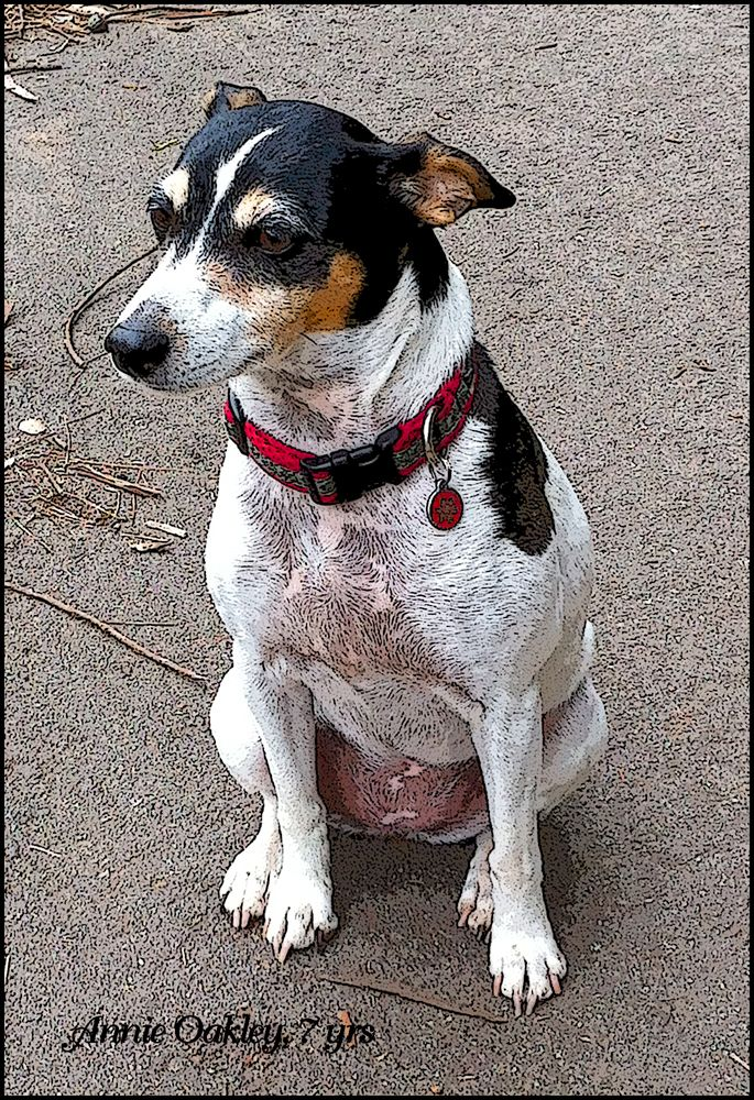 Now that I have Jacky, I see rat terriers wherever I go.  This one, Annie Oakley, we met at the dog park a couple of days  ago (May 15).