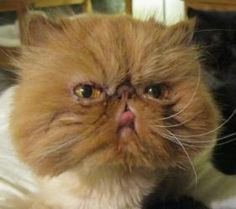 Light Orange Persian Kitten Google Search Persian Kittens Cat
