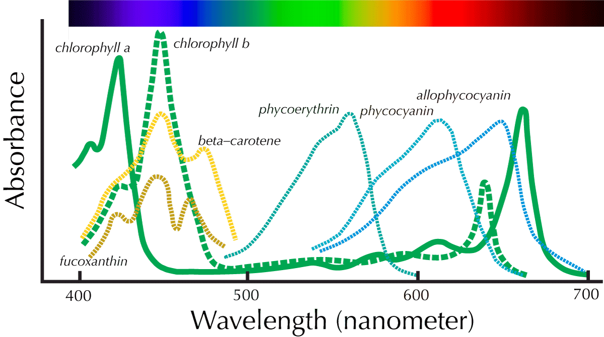 Examples Of Absorption Spectra Photosynthetically Active Pigments