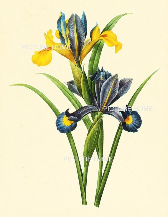 66 Beautiful Football Fans Spotted At The World Cup: Iris Botanical Print 66 Beautiful 8X10 Antique Redoute Art