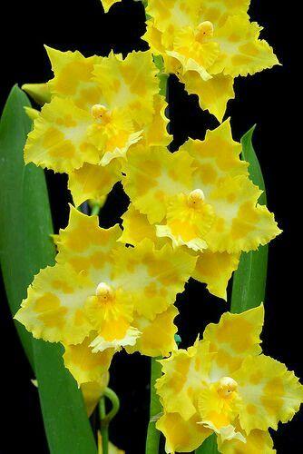 """Odontioda orchids """"Sunspots"""""""