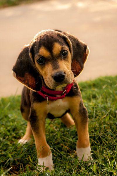 Bentley Treeing Walker Coonhound 7 Weeks Cute Animals Hound