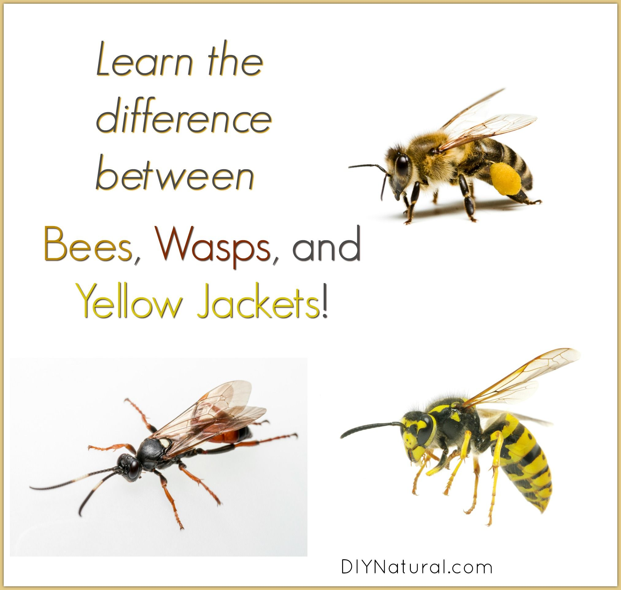 Learn The Difference Between Bees Wasps And Yellow Jackets Yellow Jacket Bee Keeping Bee