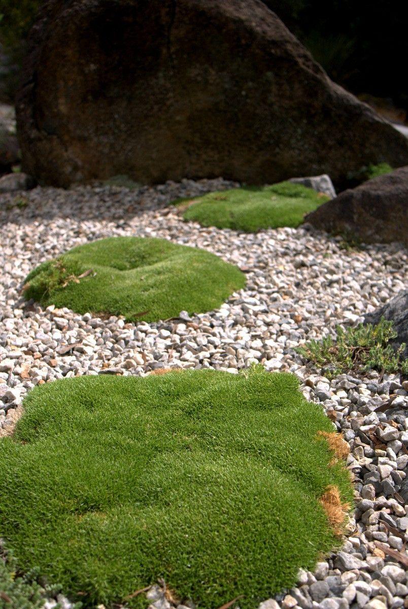 Sun loving Moss? Scleranthus biflorus Japanese garden