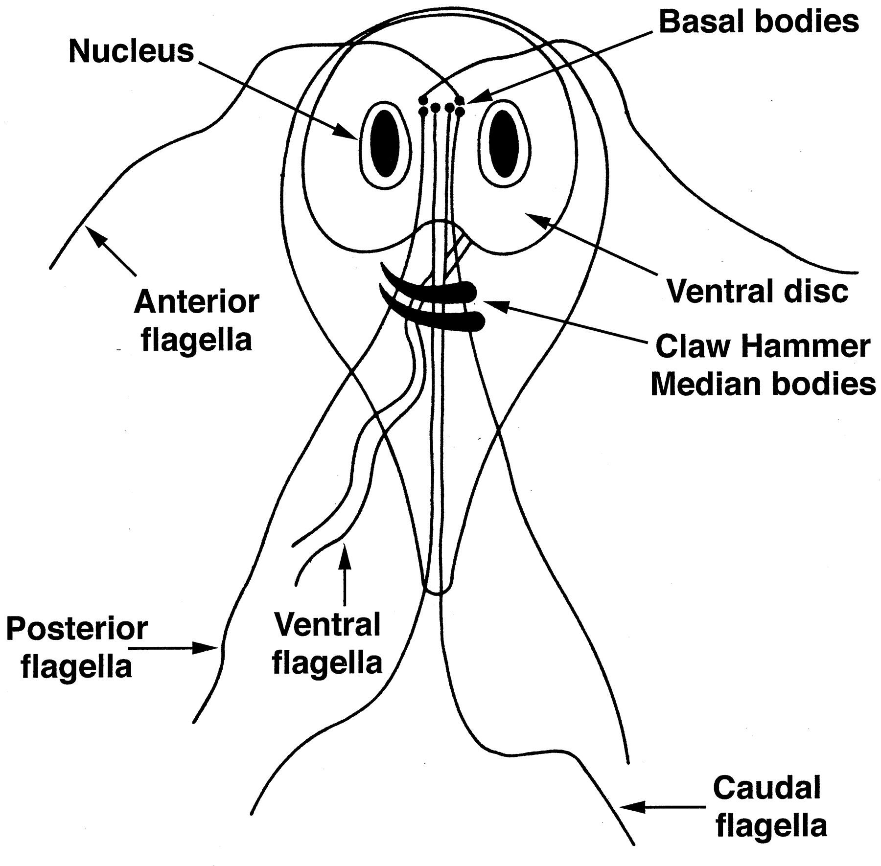 This Is An Image Of Giardia Giardiasis Is A Disease In