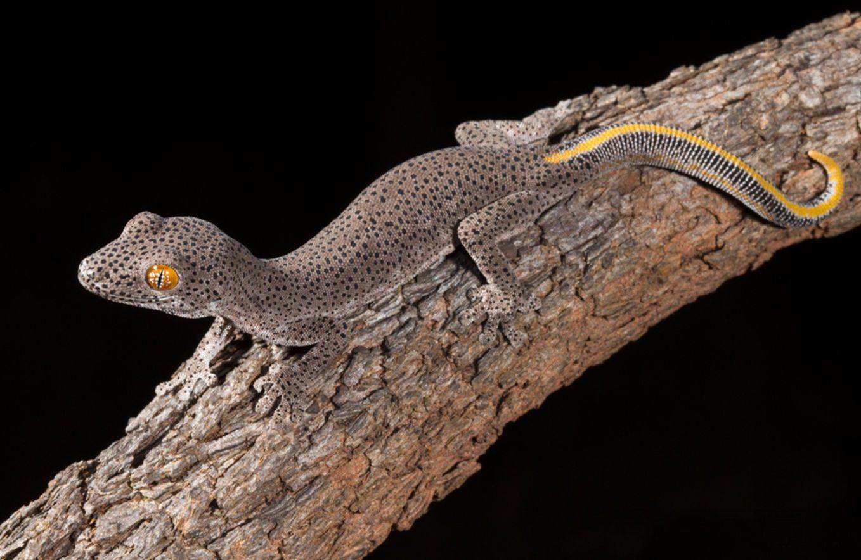 Golden Tailed Gecko Strophurus Taenicauda 4 ヤモリ 両生類 爬虫類